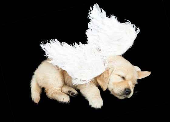 Anjo de quatro patas